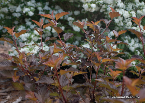 Physocarpus Coppertina Foliage Photo courtesy of Perennial Resource