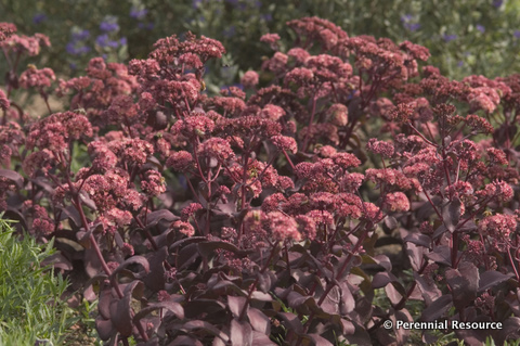 Sedum 'Purple Emperor'2   Photo courtesy of Perennial Resource