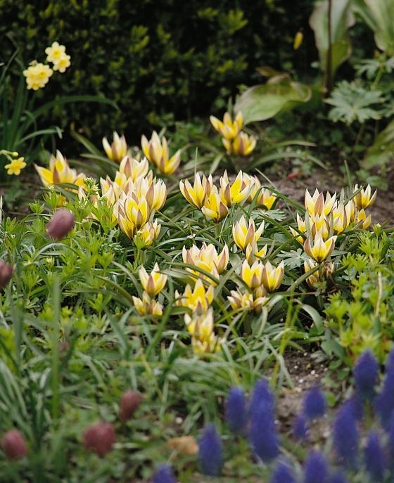 Tulipa dasystemon (tarda)