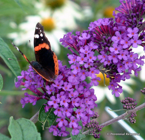 Buddleia davidii 'Potters Purple'    Photo courtesy of Perennial Resource