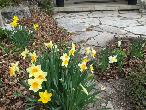 Daffodils greet you as you walk to the front door